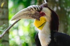O retrato do homem colorido envolveu o pássaro do hornbill que senta-se no ramo na floresta úmida fotografia de stock