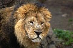 O retrato do leão imagem de stock royalty free