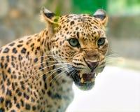 O retrato do leopardo imprime irritado no mundo natural fotografia de stock royalty free