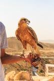 O retrato do pássaro de rapina nomeou o busardo de pernas longas foto de stock royalty free