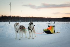 O retrato do perfil de dois cães bonitos produz o cão de puxar trenós Siberian tem um resto após sledding no por do sol no invern foto de stock
