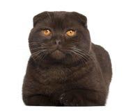 O retrato do Scottish dobra o gato, o 1 anos de idade Fotos de Stock Royalty Free