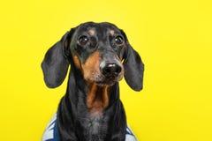 O retrato do verão de um cão bonito da raça, preto e bronzeado, veste um t-shirt, em um fundo amarelo colorido imagens de stock
