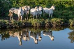 O retrato dos cavalos de Camargue do branco refletiu na água Imagens de Stock Royalty Free