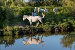 O retrato dos cavalos de Camargue do branco refletiu na água Fotografia de Stock