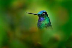 O retrato muito detalhado do colibri Branco-atou Starfrontlet, phalerata de Coeligena, com obscuridade - fundo verde, Colômbia an fotografia de stock royalty free