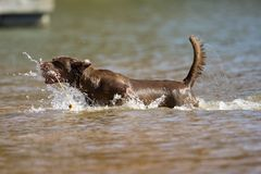 O retriever de Brown Labrador salta na água Fotos de Stock
