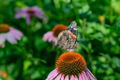 O revestimento dianteiro dobrou a opinião das asas a borboleta de Vanessa Atalanta Red Admiral em um campo do Echinacea Coneflowe imagem de stock royalty free