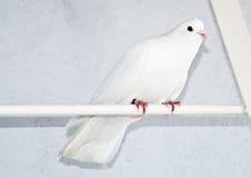 O rigeon branco Fotografia de Stock