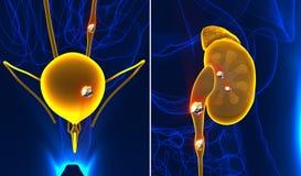 O rim e a anatomia urinária das pedras causam dor ao painf masculino do órgão interno ilustração royalty free