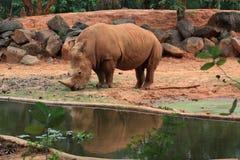 O rinoceronte africano está comendo gramas Fotos de Stock