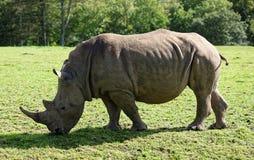 O rinoceronte anda à esquerda Imagens de Stock
