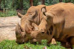 O rinoceronte ? o animal hoofed o maior do mundo O rinoceronte tem os p?s curtos e o corpo in?bil Dianteiro e traseiro os membros imagem de stock royalty free