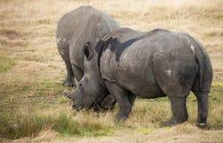 O rinoceronte branco grávido consola seu companheiro Fotografia de Stock