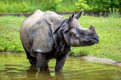 O rinoceronte indiano, rinoceronte Um-horned dos unicornis do rinoceronte maior aka fotografia de stock royalty free