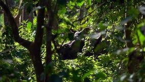 O rinoceronte Unicornis do rinoceronte indiano, igualmente chamou o rinoceronte Um-horned maior que anda na floresta vídeos de arquivo