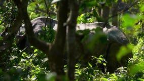 O rinoceronte Unicornis do rinoceronte indiano, igualmente chamou o rinoceronte Um-horned maior que anda na floresta filme