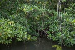 O rio Bentota entre a selva Fotos de Stock Royalty Free