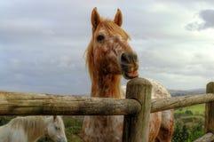 O Roan bonito da morango/cavalo vermelho ou alaranjado puxam uma cara engraçada Fotografia de Stock