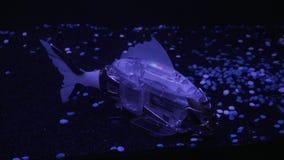 O robô dos peixes nada no aquário, ativamente acenando sua cauda e vislumbra com cores diferentes video estoque