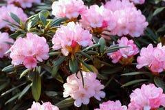 O rododendro é uma grande família que igualmente pertença à azálea Fotografia de Stock