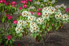 "O rododendro cor-de-rosa branco, marrom, amarelo e brilhante do †colorido bonito ""floresce imagens de stock royalty free"