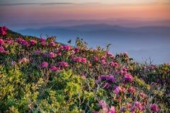 O rododendro reflete a luz da manhã Fotografia de Stock Royalty Free