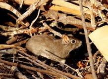 O roedor escava o aperea na terra em seu habitat natural imagem de stock