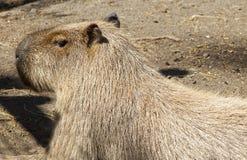 O roedor o mais grande Fotos de Stock