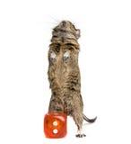 O roedor pequeno com grande morre bloco Fotografia de Stock Royalty Free