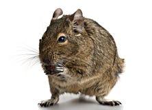 O roedor pequeno está com alimento nas patas Imagens de Stock