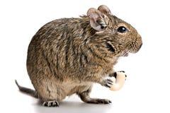 O roedor pequeno está o perfil com alimento nas patas Fotos de Stock