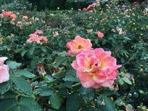 O rosa aumentou após a chuva do verão fotos de stock