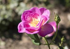 O rosa aumentou flor e pistilo fotografia de stock royalty free