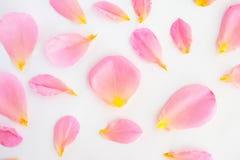 o rosa bonito aumentou as pétalas no fundo branco foto de stock royalty free
