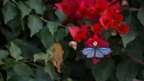 O rosa branco da borboleta aumentou fotografia de stock
