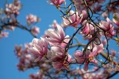 O rosa da magnólia de pires do soulangeana da magnólia floresce com fundo azul claro fotos de stock