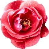 O rosa da vista superior aumentou as flores isoladas no fundo branco fotos de stock