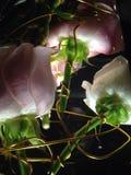 O rosa de Rosa prendeu 2 Imagens de Stock Royalty Free