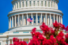O rosa do Washington DC da construção do Capitólio floresce EUA Fotografia de Stock