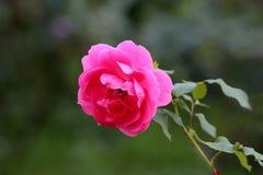 O rosa escuro de florescência Open aumentou crescendo no ramo verde cercado com agulhas vermelhas e as folhas pointy foto de stock royalty free