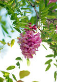 O rosa floresce a acácia Fotos de Stock Royalty Free
