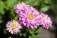 O rosa floresce o dia quatro ensolarado macro fotografia de stock royalty free