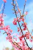 O rosa floresce a flor de cerejeira foto de stock