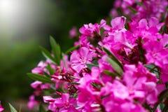 O rosa floresce o close-up, fundo da natureza Fotos de Stock