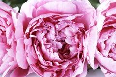 O rosa floresce peônias fotografia de stock