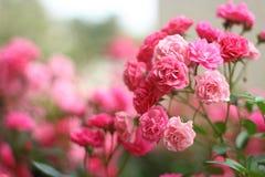 O rosa floresce rosas imagens de stock