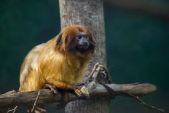 O rosalia dourado de Leontopithecus do tamarin do leão come imagem de stock royalty free