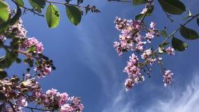 O rosea de Tabebuia é uma árvore neotropical da flor cor-de-rosa e um céu azul árvore de trombeta comum do rosa do nome, poui cor video estoque