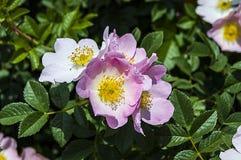 O Rosehip, árvore do rosehip, floresceu rosehip, flores da árvore do rosehip, imagens da árvore a mais bonita do rosehip Fotos de Stock Royalty Free